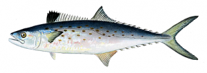 Spanish_mackerel_PNG.png