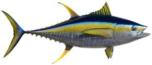YellowFin-Tuna-HD.jpg